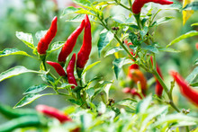 Red Chili Peppers On The Tree In Garden.