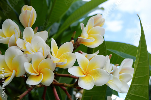 white frangipani tropical flower, plumeria flower fresh blooming