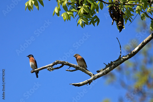 Fotografie, Obraz  A male and female Bluebird couple sitting on a branch