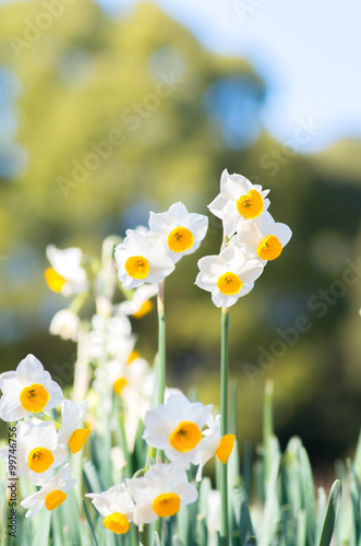 Papiers peints Narcisse japanese narcissus