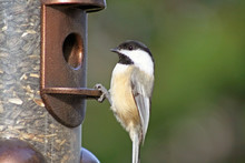 Chickadee At Bird Feeder Filled With Seed