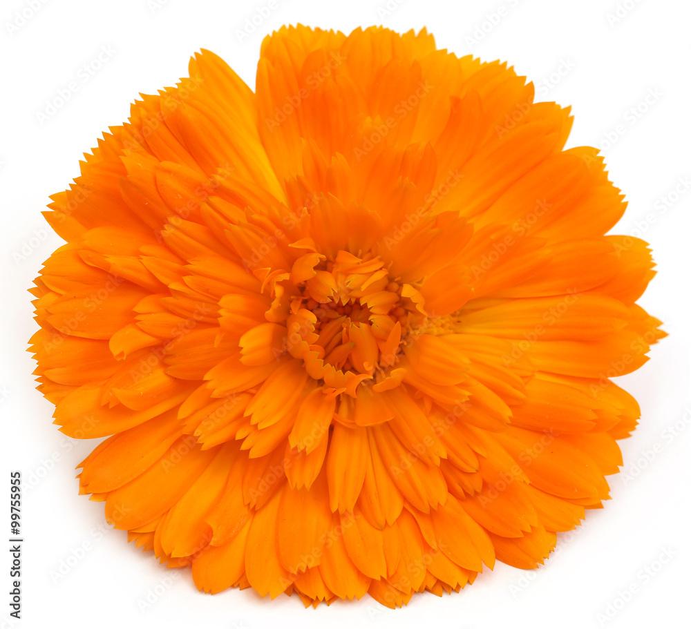 Fototapety, obrazy: Closeup of calendula