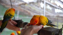 Feeding Colorful Parrots Sitti...
