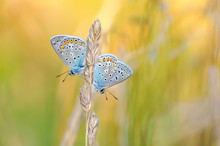 Common Blue Butterfly - Pair
