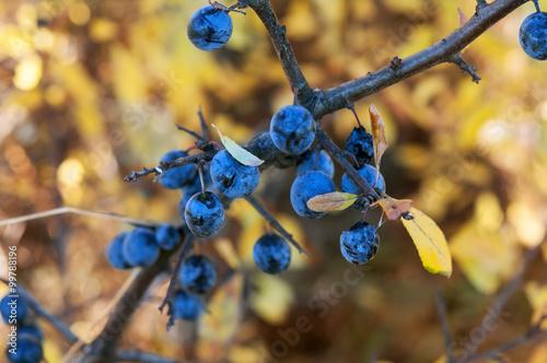Valokuva  dry blackthorn
