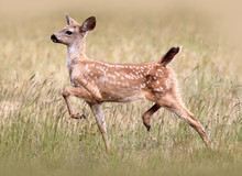 Black-tail Fawn (Columbian Bla...