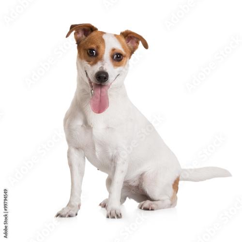 Fototapeta jack russell terrier dog sitting on white