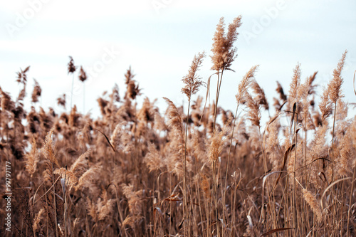 Obraz na plátně  Dry reed. Abstract natural background.