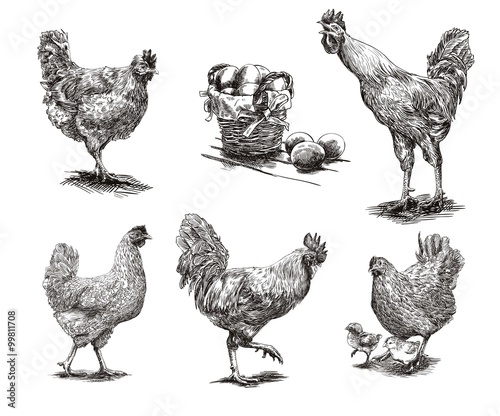 Fotografia roosters, hens and chickens