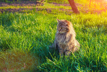 Cute Siberian Cat Relaxing On The Grass