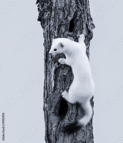 Valokuva Ermine in a winter coat in black and white