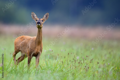 Roe-deer in the wild in a clearing