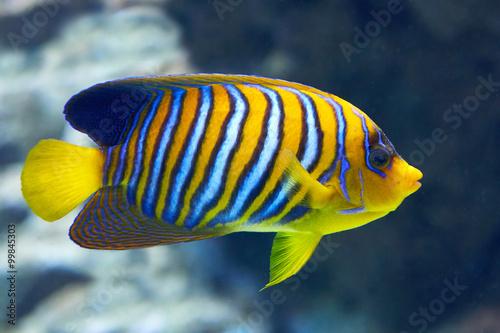 Fototapety, obrazy: Regal Angelfish (Pygoplites diacanthus)