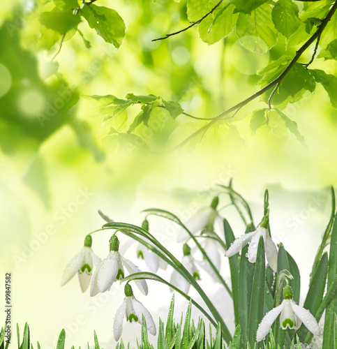 Wall Murals Lily of the valley snowdrops