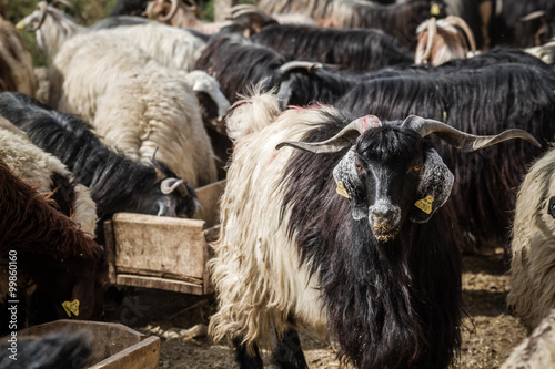 Photo  Goats and Sheep at Animal Market