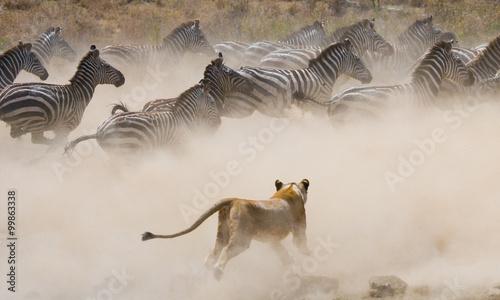 Valokuva  Lioness attack on a zebra