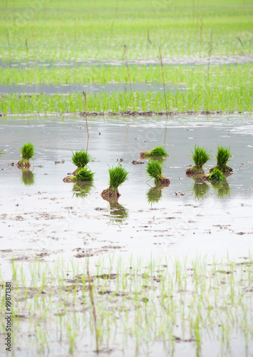 Photo  Beginning of rice seeding in Asian countryside background