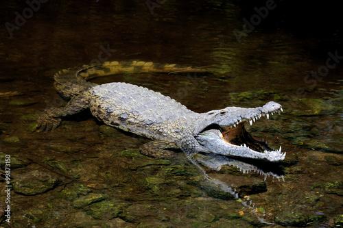 Foto op Plexiglas Krokodil Crocodile in water. Kenya, Afrca