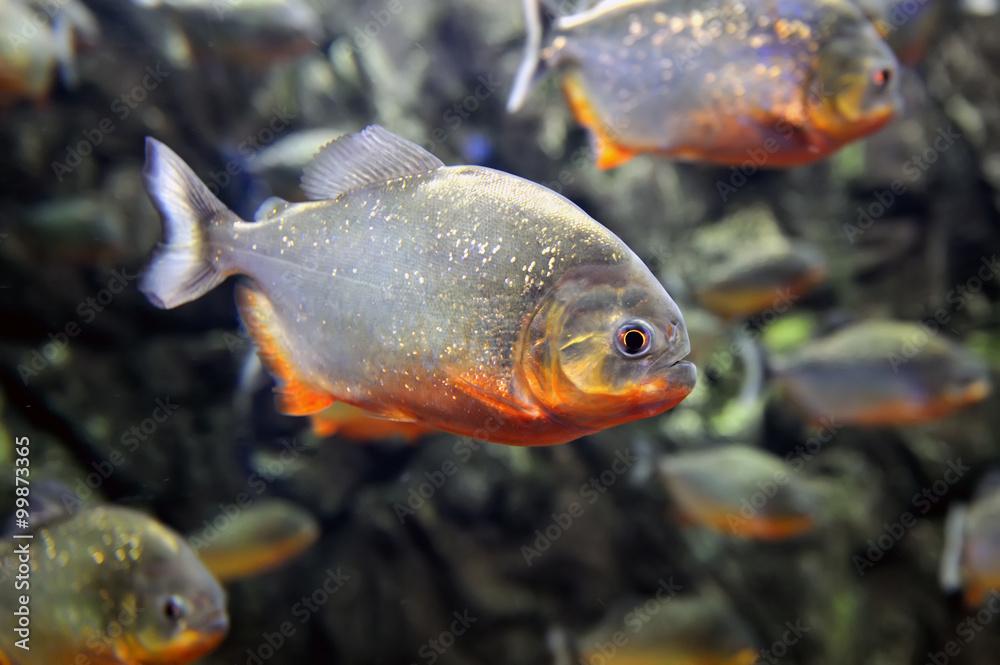 Tropical piranha fishes Canvas-taulu