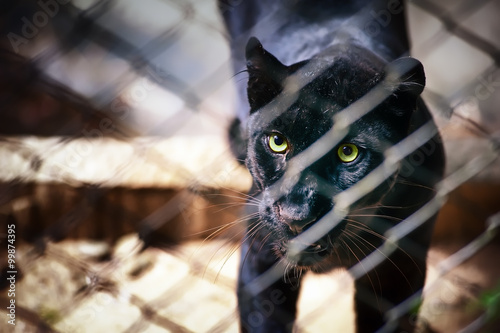 In de dag Panter Eyes of black jaguar in captive