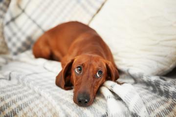 Cute dachshund puppy on plaid background