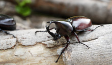 Thai Rhinoceros Beetle Facing ...