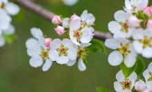 Blooming Flowers Of Apple Tree