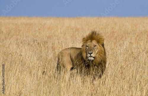 Big male lion in the savanna Canvas Print