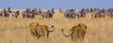 Fototapeta Sawanna - Two big male lions on the hunt. National Park. Kenya. Tanzania. Masai Mara. Serengeti. An excellent illustration.