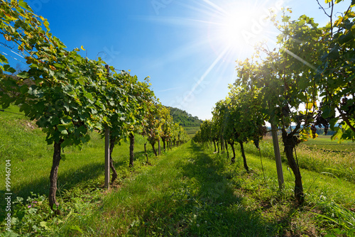 Fotografie, Obraz  Italian Vineyards with Sun Rays / Typical Italian red grape vineyards at the bas
