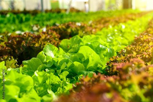 Fotografiet  Organic hydroponic vegetable cultivation farm