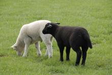 Twee Vrolijke Lammetjes In De Wei, Zwart En Wit.