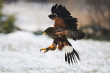 Harris Hawk In Flight Above Sn...