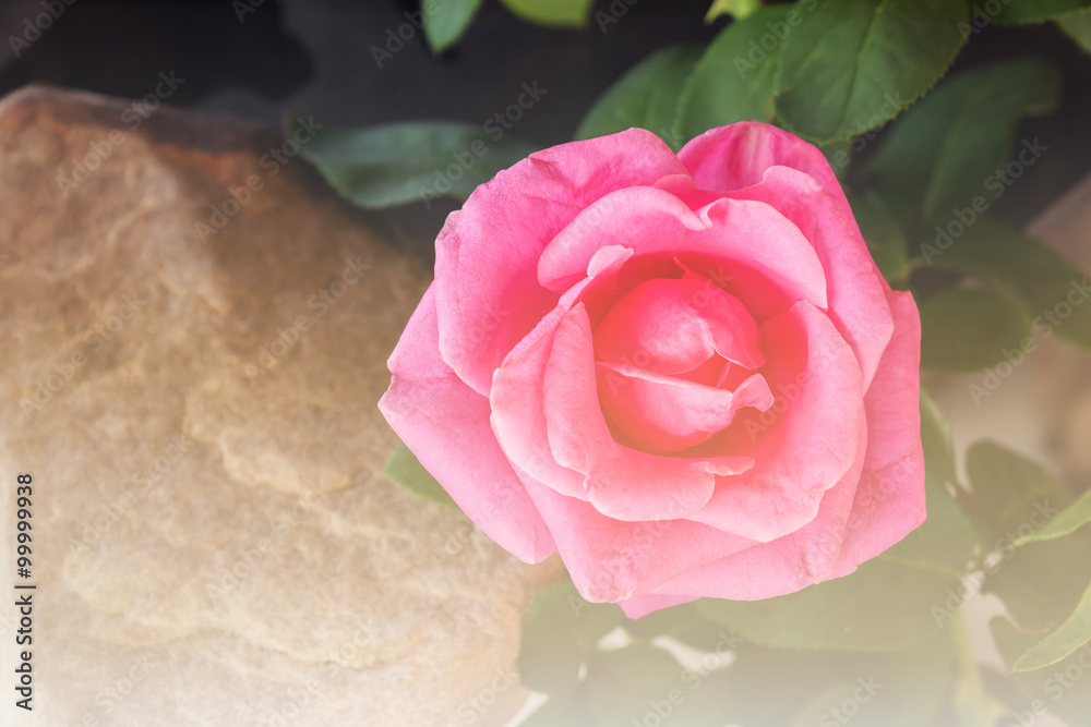Fototapeta Pink rose in soft vintage mood