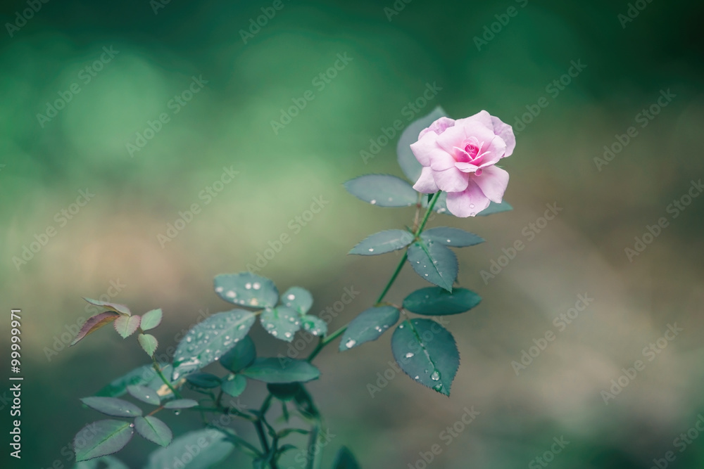 Fototapeta Pink rose closeup