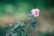Leinwandbild Motiv Pink rose closeup