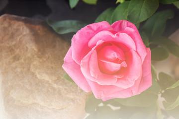 Pink rose in soft vintage mood