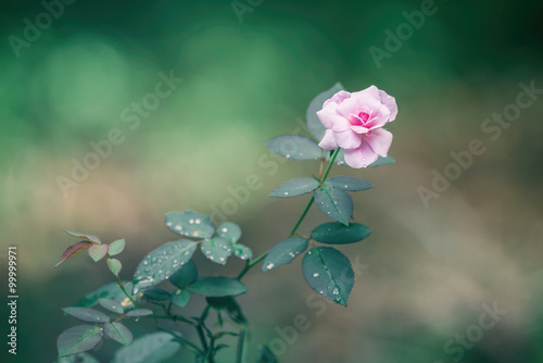 Obraz Pink rose closeup - fototapety do salonu