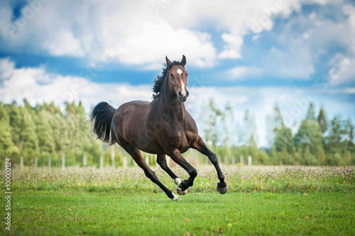 Papel de parede Beautiful warmblood horse running on the field in summer