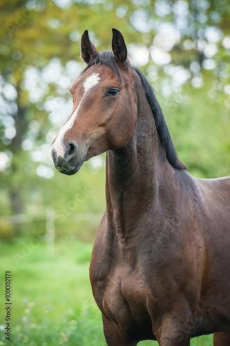 Fototapeta Portrait of beautiful warmblood horse