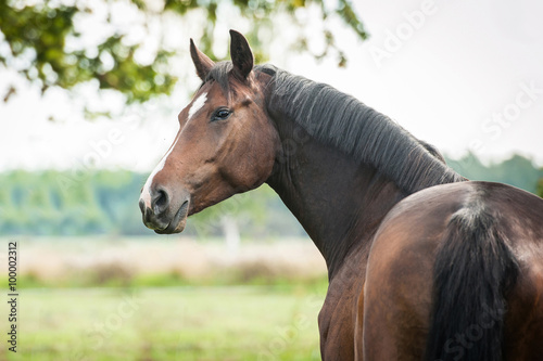 Portrait of beautiful warmblood horse looking back
