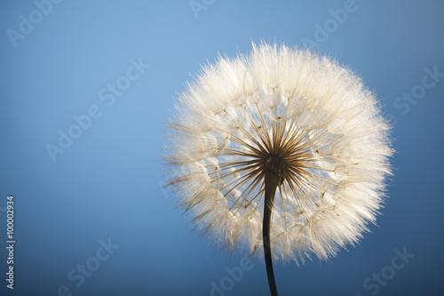 Photo  big dandelion on a blue background