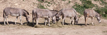 Herd Of Somali Wild Asses