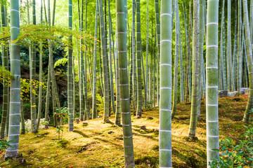 Fototapeta Kyoto Bamboo Forest