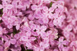 Pink lilac flowers after rain.