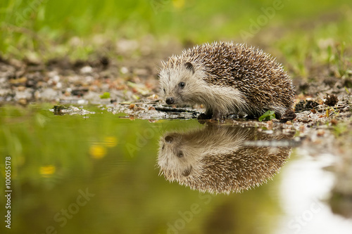 Photographie European hedgehog and the water