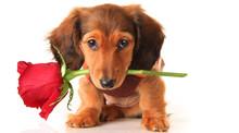 Dachshund Valentine Puppy