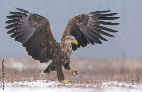 Foto auf AluDibond Adler White tailed eagle (Haliaeetus albicilla) in winter scenery