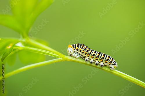 Fotografía  Beautiful green caterpillar creeps on a green leaf