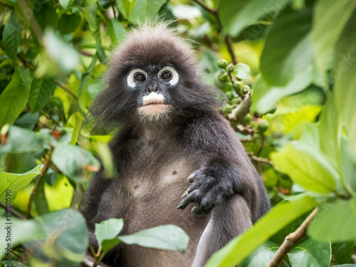 Fotografía  An adult dusky leaf monkey / spectactled leaf monkey / langur is sitting among leaves in a tree in the wild